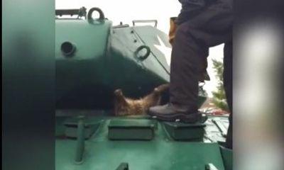 Gấu mèo ngốc nghếch bị mắc kẹt trong xe tăng vì béo bụng khiến dân mạng cười ngất