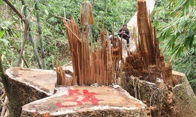 Quảng Nam: Truy nã hai nghi can phá rừng lim cổ thụ