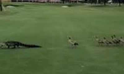 Video: Siêu hài hước đàn vịt đuổi cá sấu chạy khắp sân golf