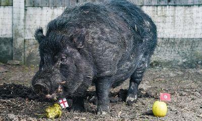 Chú lợn tiên tri dự đoán sai kết quả bán kết World Cup phải đưa đi trốn vì bị dọa giết