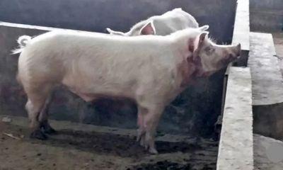 Người đàn ông tử vong vì bị lợn xổng chuồng cắn đứt động mạch