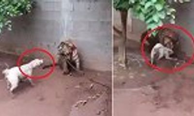 Video: Chó hung hăng dọa nạt bị hổ ngoạm đầu dằn mặt