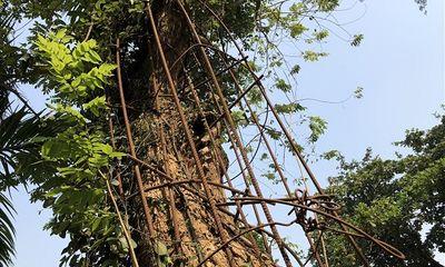 Vụ xin bán cây sưa 100 tỷ từ TP. Hà Nội: UBND xã vẫn chưa chưa nhận được văn bản cấp phép