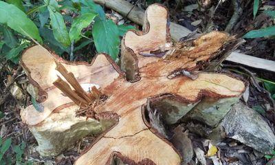 Vụ gỗ lậu ở Mang Yang: Cơ quan chức năng báo cáo