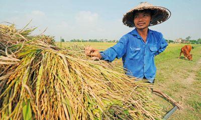 Được 'cởi trói', hạt gạo dự tính mang về cho Việt Nam hơn 3 tỷ USD