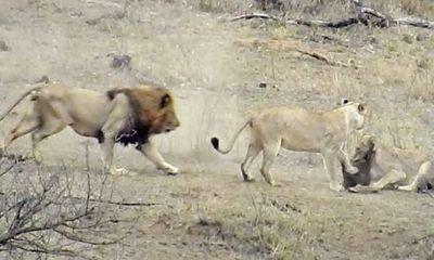 """Video: Bầy sư tử """"lục đục"""" nội bộ, lợn lòi nhanh chân co giò phóng vọt thoát thân"""