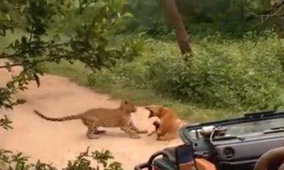 Video: Chó hoang đánh đá