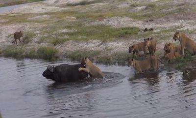 Video: Trâu rừng thông minh, thoát khỏi nanh vuốt của 9 con sư tử trong nháy mắt