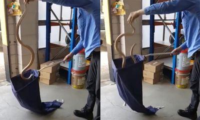 Video: Rắn độc bị bắt vẫn cố ngóc đầu tấn công người