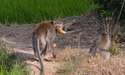 Đàn khỉ hung dữ có bờm giống sư tử cắn người dân ở Sóc Trăng