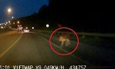 Video: Tài xế giật mình, suýt đâm trúng con bò lạ trên cao tốc lúc trời tối