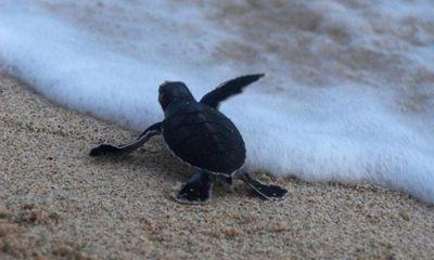 Video: Xúc động trước hành trình tìm về biển cả của rùa con