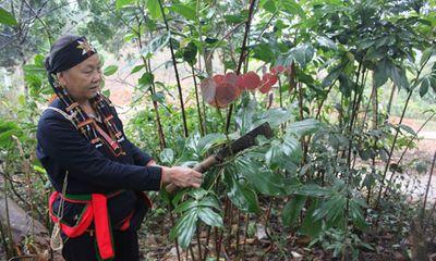 """""""Thần y"""" phát huy công dụng loài cây cỏ trên rừng sâu chữa bệnh yếu sinh lý"""