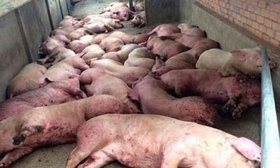 13 tỉnh thành xuất hiện dịch tả lợn, các địa phương gấp rút ngăn chặn dịch lây lan trên diện rộng
