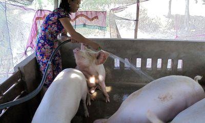 Cà Mau: Xuất hiện ổ dịch lở mồm long móng trên lợn tại một lò giết mổ
