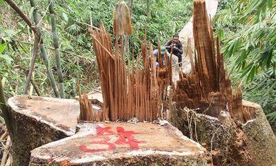 Rừng gỗ quý ở Quảng Bình bị lâm tặc triệt hạ do buông lỏng quản lý