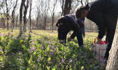 Người dân mê ăn rau dại, công viên ở Bắc Kinh gặp rắc rối lớn