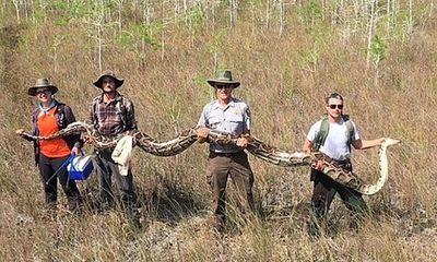 Phát hiện con trăn khổng lồ dài hơn 5 mét, nặng hơn 60 kg ở Florida