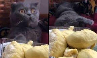 Video: Phản ứng bất ngờ của chú mèo khi ngửi mùi sầu riêng