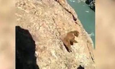 Video: Bị xua đuổi, gấu nâu ngã xuống vách núi chết thảm