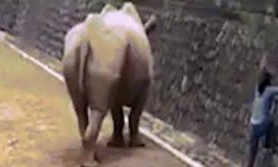 Video: Bất chấp nguy hiểm cô gái trèo vào chuồng tê giác nhặt điện thoại
