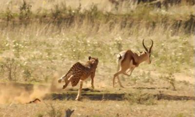 Video: Báo săn hạ gục con mồi chỉ bằng một nhát cắn