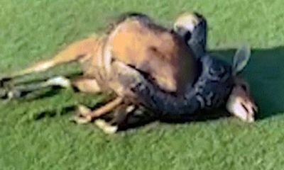 Video: Cái kết bất ngờ khi trăn gấm quằn quại siết chết chó mực