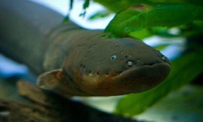 Video: Hung thần sông Amazon phóng điện khiến cá sấu khiếp đảm
