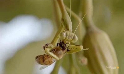 Video: Bọ ngựa phục kích tấn công ong thợ