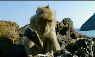 Video: Ngỡ ngàng trước sự thông minh của khỉ dùng đá đập vỏ để ăn hàu