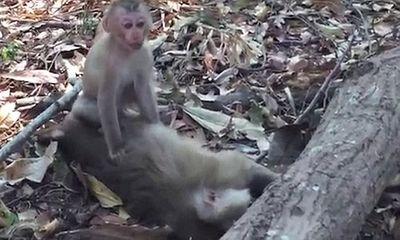 Khỉ mẹ chết vì nắng nóng, khỉ con ngồi cạnh cố lay xác mẹ suốt nhiều giờ