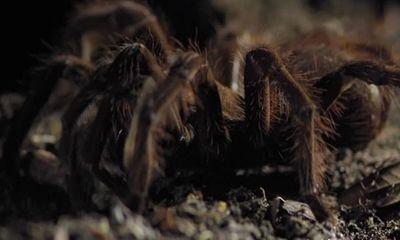 Video: Cận cảnh loài nhện lớn nhất thế giới, sở hữu nọc độc gấp 15 lần rắn đuôi chuông