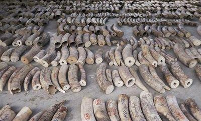 Singapore thu giữ lô vảy tê tê, ngà voi trị giá hơn 48 triệu USD đang trên đường đến Việt Nam