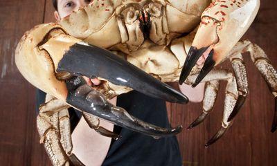 Cận cảnh loài cua khổng lồ nặng 13kg