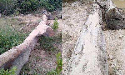 Hà Tĩnh: Phát hiện cây gỗ quý 100 năm tuổi nằm sâu dưới lòng suối khi đi mò ốc