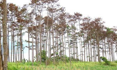 Khởi tố, bắt giam một cán bộ ngân hàng thuê người hủy hoại rừng thông ở Lâm Đồng