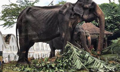 Xót xa hình ảnh con voi 70 tuổi gầy trơ xương trong lễ hội