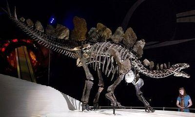 Video: Cận cảnh bộ xương 168 triệu năm của khủng long phiến sừng