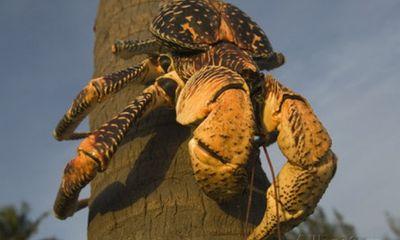 Video: Cua khổng lồ dài 1 mét ở Indonesia chuyên leo cây hái dừa