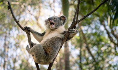 Video: Hai con koala túm đầu, cào cấu nhau trên cây để tranh giành địa phận