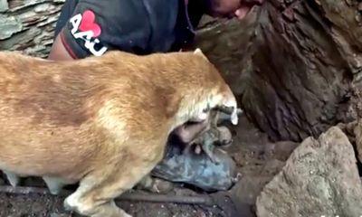 Tình mẫu tử thiêng liêng: Chó mẹ hì hục bới đất cứu đàn con kẹt dưới ngôi nhà sập