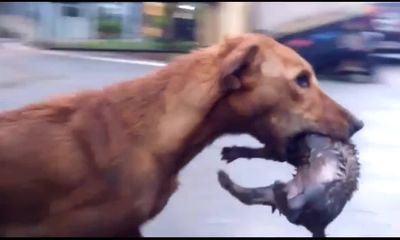 Video: Lo sợ nước cống dâng lên ngập ổ, chó mẹ cặm cụi tha 5 con đến chỗ cao