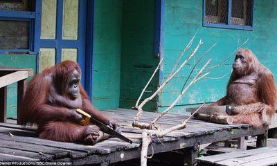 Đười ươi Borneo hoang dã dùng cưa thành thạo xẻ cành cây