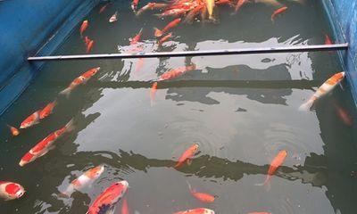 Cá Koi trên sông Tô Lịch đột ngột chết: Công ty JVE lắp đặt thêm camera theo dõi