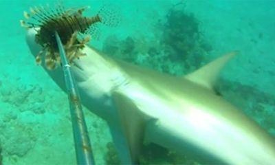 Cuộc chiến sinh tồn: Cá mập đói xé xác cá sư tử đầy gai rồi nuốt ngấu nghiến trong chớp mắt