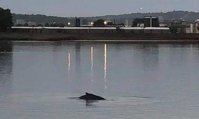 Video: Cá voi lưng gù dài 10 m bơi lạc vào sông