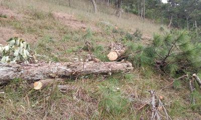 Lâm Đồng: Bắt đối tượng phá rừng thông Đà Lạt, chiếm đất để sản xuất