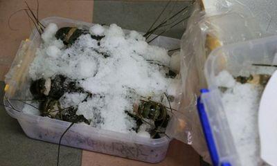 Đà Nẵng: Phát hiện cửa hàng hải sản có tôm hùm bơm tạp chất