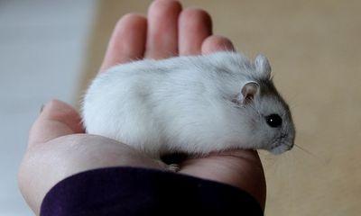 Những người thích nuôi chuột làm thú cưng cần cảnh giác điều này