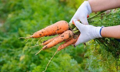 Cà rốt rất bổ nhưng nếu kết hợp với những thực phẩm sau lại thành chất độc